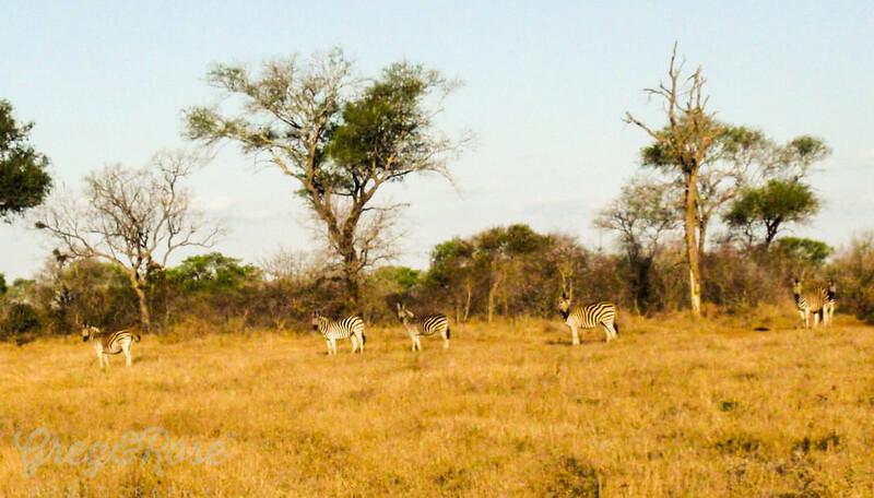 A heard of Zebra