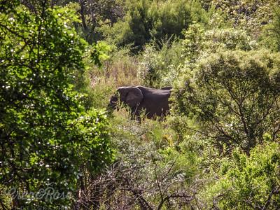 Elephant feeding (2