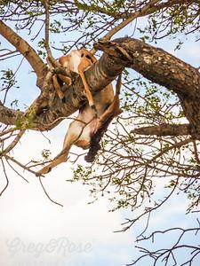 Impala carcass in the tree