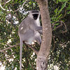 Soko White Hair Long Tailed Monkey in a tree.