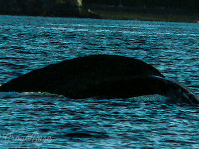 A whale diving off the Alaskan Coast