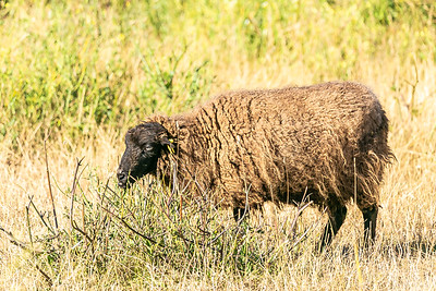 Black faced Sheep