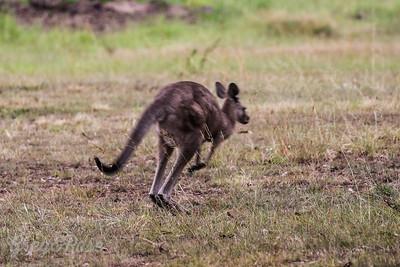 Kangaroo on the run