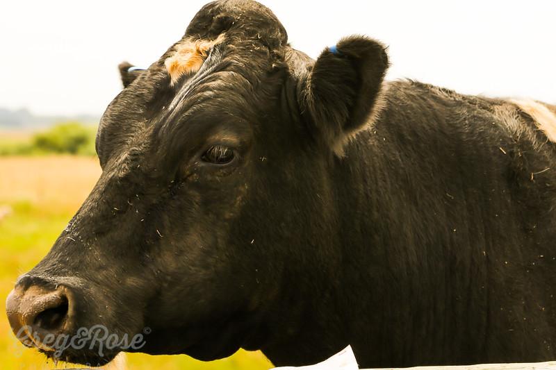 Fresian Steer