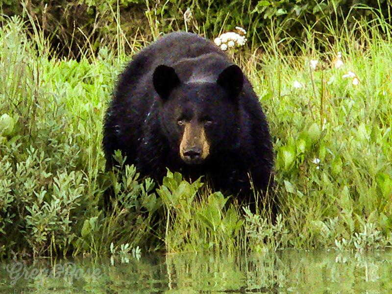 Black Bear looking at you