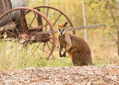Red tailed Wallaby
