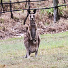 Mother Kangaroo with a Joey in her pouch