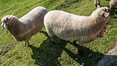 Their own Woolly coats