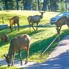 Elk surround the lodge