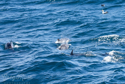Common Dolphin ustralasin Ganntts and sootshwearwater all with a common goal -Fish!