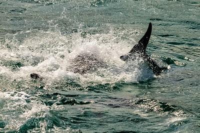 Bottlenosed Dolphin Frolics