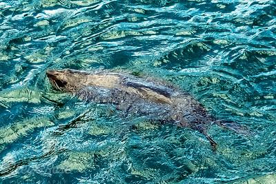 Frolicking Fur Seal