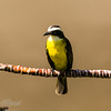 Social Flycatcher (3)