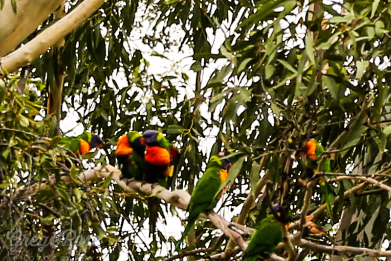 Rainbow Lorikeet Flock