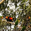 Rainbow Lorikeet Flock