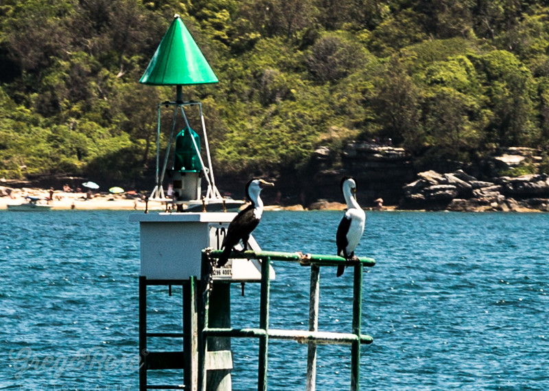 Pied Shags at Rest