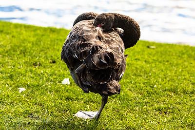 Black Swan Contortions