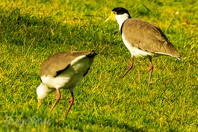 These birds are are pair that is often seen at Milford beach and reserve