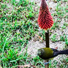 Bell Bird on a Hot Poker