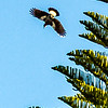 Magpie on the wing