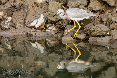 White -faced Heron on the water's Edge