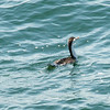Swimming Pied Shag