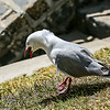 Red-billed gull (silver gull)