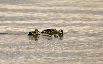 Two Grey Teal