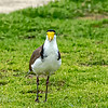 Spur-Winged Plover-or as in Australia Masked Lapwing