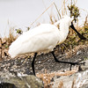 Royal Spoonbill walking