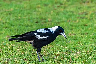 Australian magpies in New Zealand