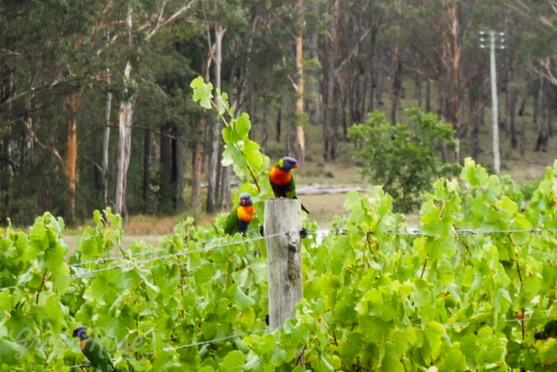 Rainbow Lorikeets eyeing the grapes
