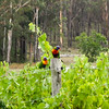 Rainbow Lorikeets eyeing the grapes
