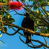 Tui and its distinctive Poi ( throat feathers