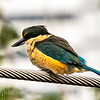 Sacred Kingfisher alert for the food opportunity
