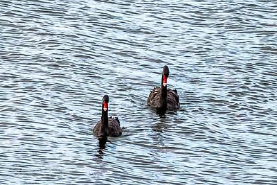 Black Swans on Lake Rotorua