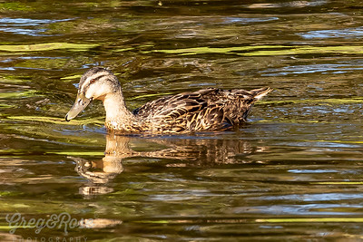 Grey duck foraging