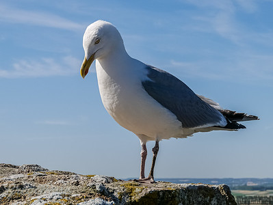 Gull in Contemplation