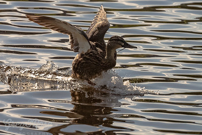 Grey Duck coming into land