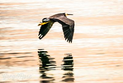White Faced Heron skimming the Lake