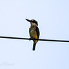 New Zealand Kingfisher on a wire