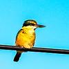 Kotare-Sacred Kingfisher