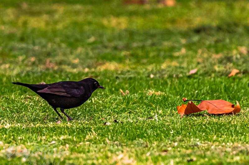 Leaf and a Blackbird
