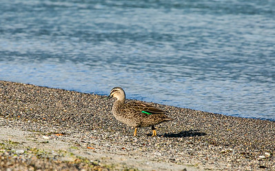 Grey Teal on the foreshore of the lake