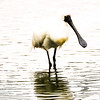 Paddling Royal Spoonbill