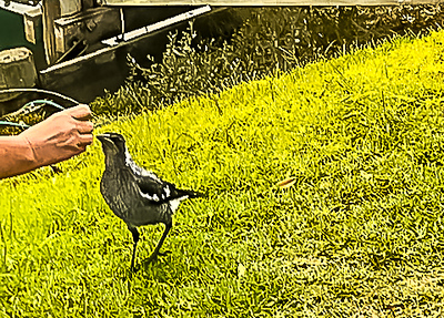 Magpie Juvenile feeding from a hand