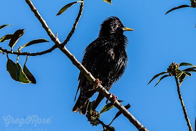 Youing Black Bird