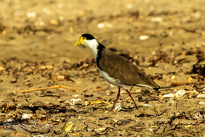 Spur -winged plover on the beach