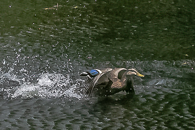 Out of My Way!! Low Flying Duck