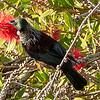 Tui a bird of many shades